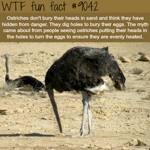 Why ostriches bury their head in the sand? - WTF fun facts