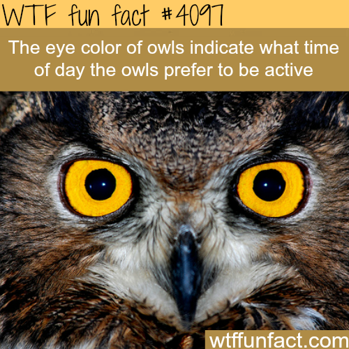 Why owls have different eye colors - WTF fun facts