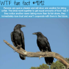 why ravens are one of the smartest birds wtf fun