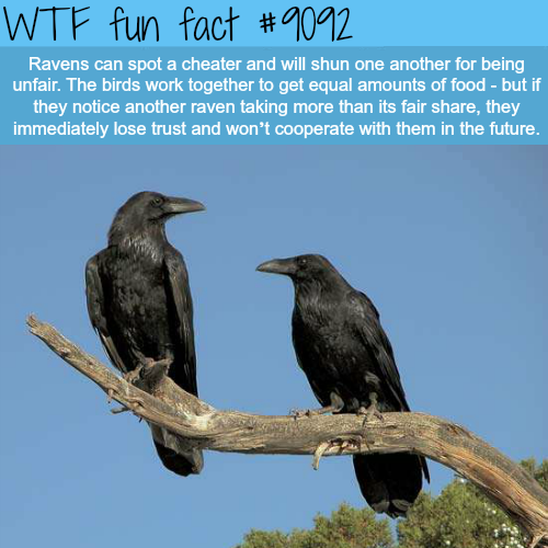 Why Ravens are one of the Smartest Birds - WTF fun fact