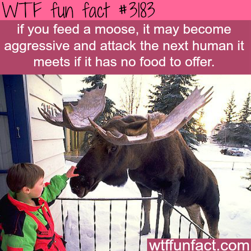 Why you should not feed moose -WTF fun facts
