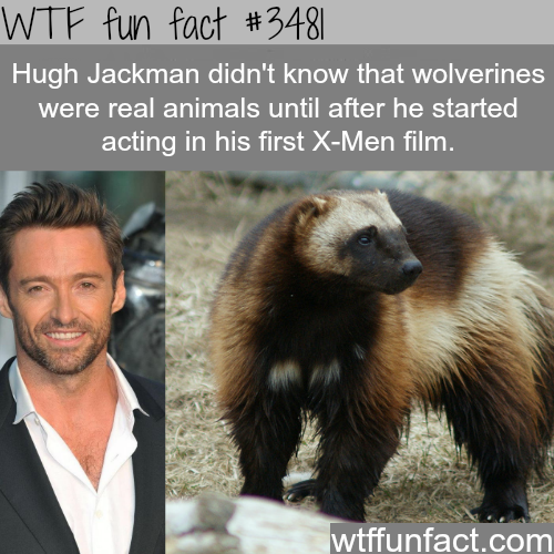 Wolverine the animal - WTF fun facts