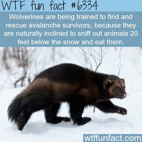 Wolverines can help rescue avalanche survivors - WTF fun facts