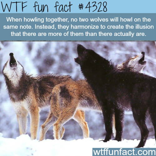 Wolves howling -  WTF fun facts