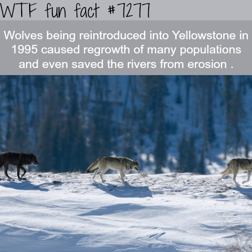 Wolves in The Yellowstone - WTF fun fact