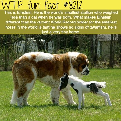 World's smallest horse - WTF fun fact