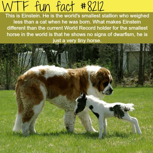 World's smallest horse - WTF fun fact