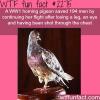 ww1 homing pigeon saves 194 men