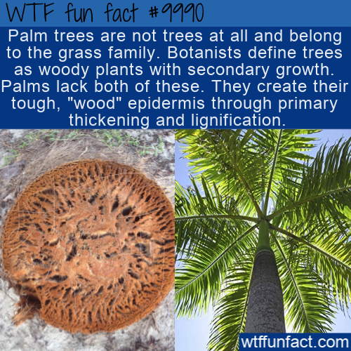 WTF Fun Fact - Palm Trees Are Actually A Grass