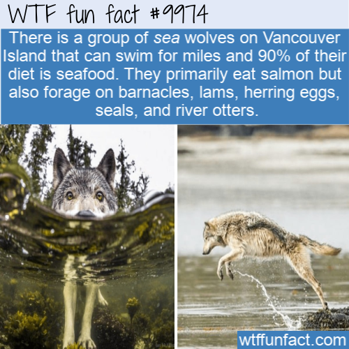 fun animal fact seafood eating wolves(1)