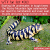 Fun Animal Fact – Tiger Salamander