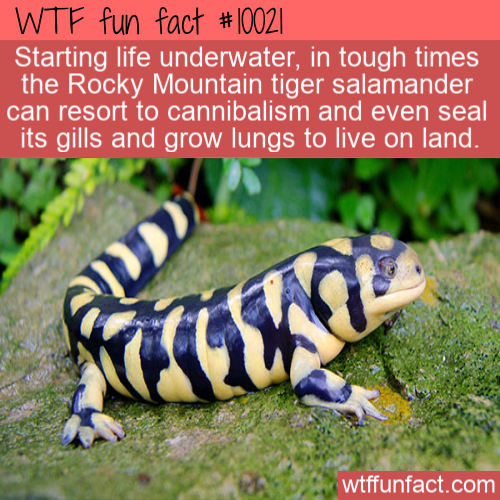 WTF Fun Fact - Rocky Mountain Tiger Salamander