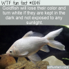 WTF Animal Fact – White Goldfish