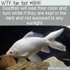 WTF Animal Fact – White Goldfish