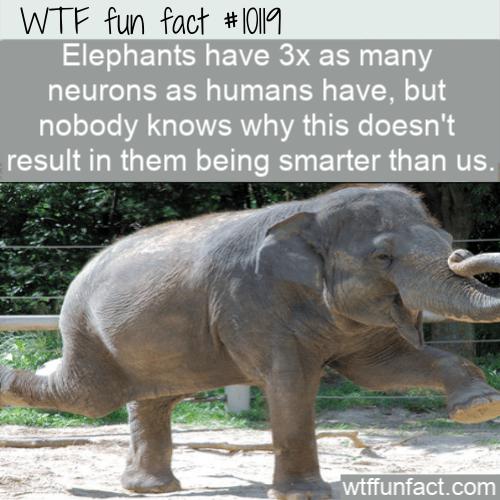 WTF Fun Fact - Elephants Aren't Smarter