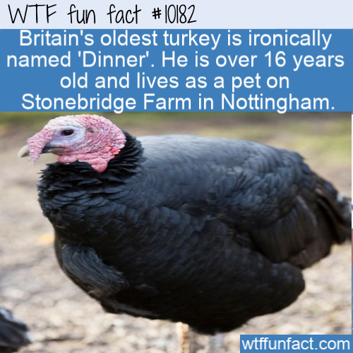 WTF Fun Fact - Turkey Dinner
