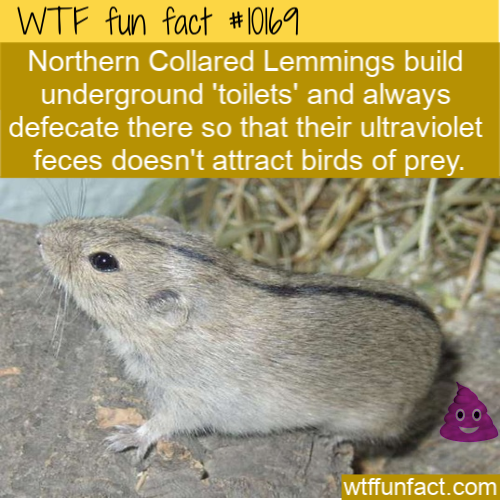 WTF Fun Fact - Where Do Lemmings Poop