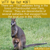 WTF Fun Fact – Wild Wallabies In Paris
