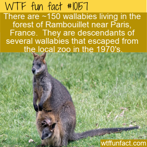 WTF Fun Fact - Wild Wallabies In Paris