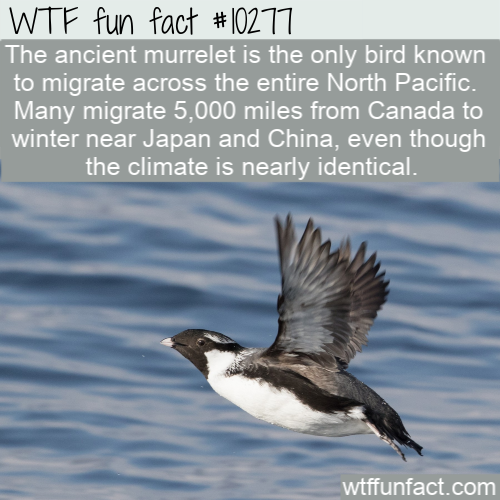 WTF Fun Fact - Ancient Murrelets