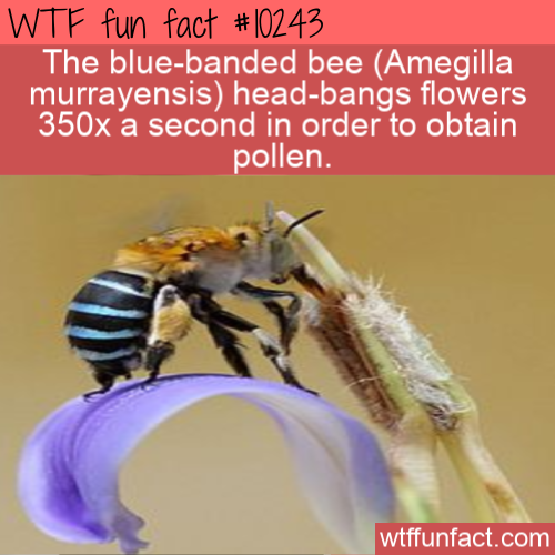 WTF Fun Fact - Blue Banded Headbanging Bee