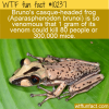 WTF Fun Fact – Bruno's Casque-headed Frog Poison