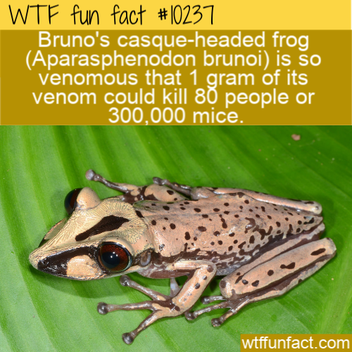 WTF Fun Fact - Bruno's Casque-Headed Frog Poison