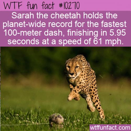 WTF Fun Fact - Fastest Cheetah
