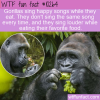 WTF Fun Fact – Gorillas Hum Songs