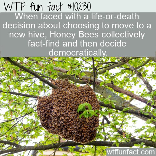 WTF Fun Fact - Honey Bees Hivemind
