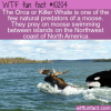 WTF Fun Fact – Moose Predator