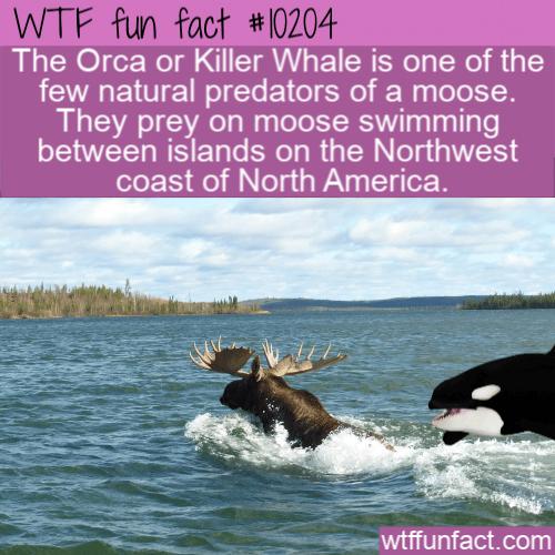WTF Fun Fact - Moose Predators