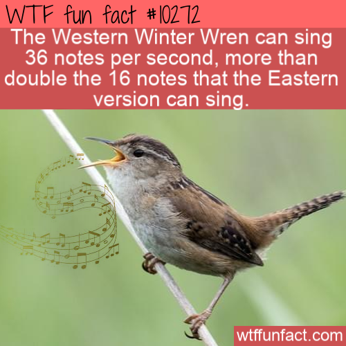 WTF Fun Fact - Winter Wren Singing