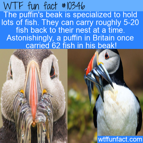 WTF Fun Fact - Puffins Carry Fish In Beak