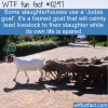 WTF Fun Fact – Judas Goat