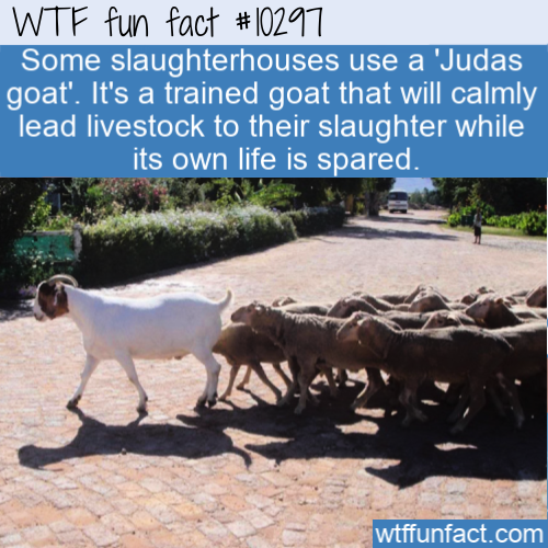 WTF Fun Fact - Leader Judas goat