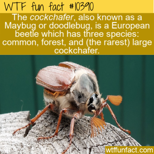 WTF Fun Fact - Cockchafer