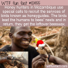 WTF Fun Fact – Honeyguides