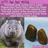 WTF Fun Fact – Wombats Poop Cubes