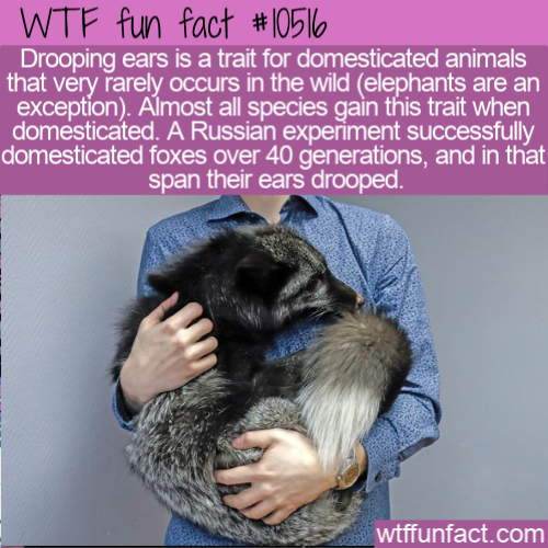 WTF Fun Fact - Drooping Ears Trait