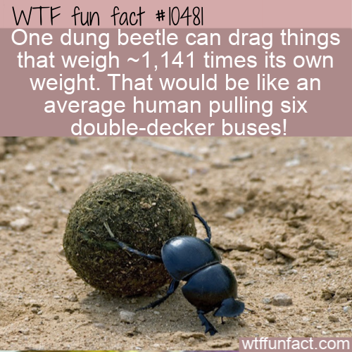 WTF Fun Fact - Dung Beetle Can Do That !