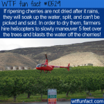 WTF Fun Fact - Expensively Drying Cherries