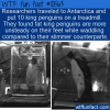 WTF Fun Fact – King Penguins On A Treadmill