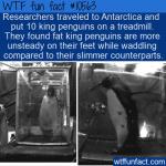 WTF Fun Fact - King Penguins On A Treadmill