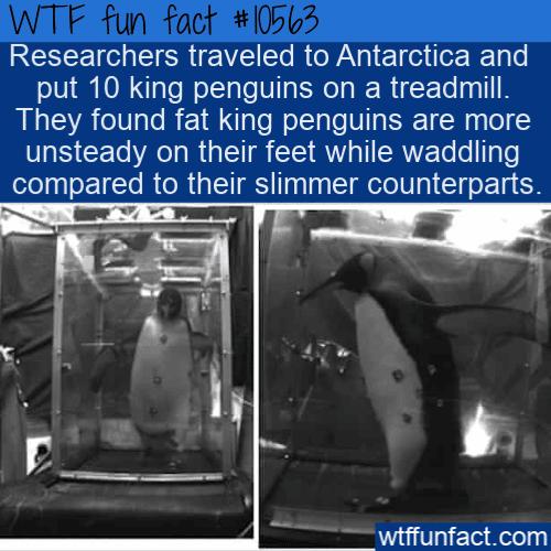 WTF Fun Fact - Fat Penguins On A Treadmill