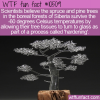 WTF Fun Fact – Glass Siberian Christmas Trees