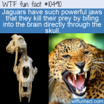 WTF Fun Fact - Jaguars Can Bite skull