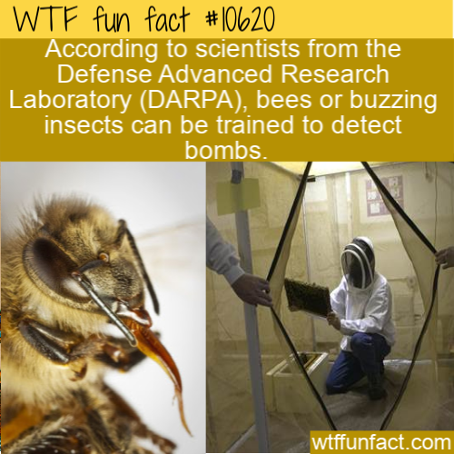 WTF Fun Fact - Bees Can Be A Detective