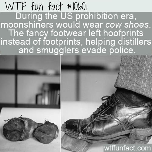 WTF Fun Fact - Cow Shoes For Smugglers