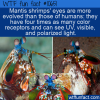 WTF Fun Fact – Mantis Shrimps' Eyes
